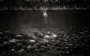 Picture animals, fiction, drop, h\b, bulls, the herd, Buffalo