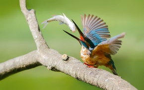 Picture bird, fish, branch, kingfisher, alcedo atthis, common Kingfisher, catch