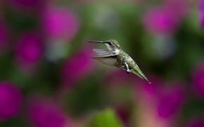 Picture birds, nature, background, Wallpaper, blur, Hummingbird, flight