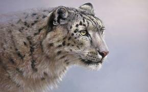 Picture cat, look, background, predator, picture, art, IRBIS, snow leopard, wild, Colin Richens