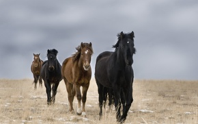 Picture field, horses, wild