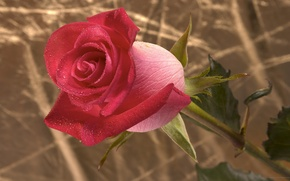 Picture Rosa, Wallpaper, rose, stem, Bud