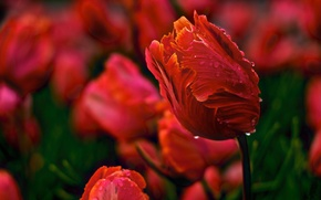 Wallpaper Bud, flowers, red, nature, buds, tulips, petals, water, Rosa, Tulip, spring, drops