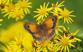 Picture macro, flowers, butterfly, Krupnovata yellow-brown, Jacobea