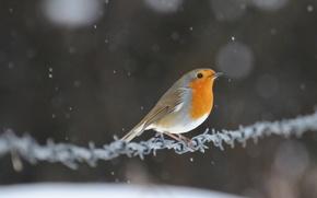 Picture snow, glare, bird, wire, bird, Robin