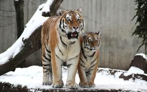 Picture cat, snow, tiger, family, pair, cub, kitty, tigress, tiger, Amur
