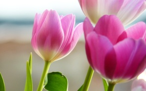 Picture flowers, petals, tulips, pink