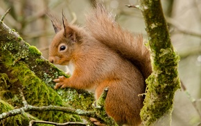 Picture animal, red, squirrel