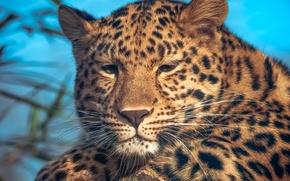 Picture portrait, leopard, spot