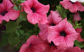Picture Wallpaper, petals, Petunia, inflorescence