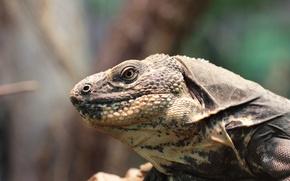 Picture reverie, head, neck, torso and front limbs, fixed gaze, Shipohvosty Spanish iguana (Ctenosaura melanosterna, Vienna, ...