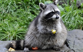 Wallpaper grass, stone, raccoon, fruit, eating