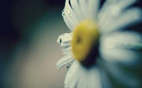 Picture flower, water, drops, macro, yellow, Rosa, background, Wallpaper, petals, Daisy, wallpaper, flower, widescreen, background, macro, …