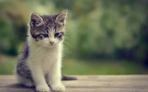 Picture bokeh, look, kitty, muzzle