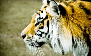 Picture animals, face, tiger, background, widescreen, Wallpaper, blur, spot, profile, wallpaper, widescreen, background, full screen, HD …