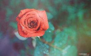 Picture flower, drops, rose, photographer, photography, photographer, Tselovalnikov Ilya