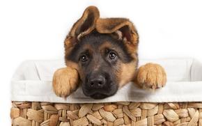 Picture puppy, dog, pet, German Shepherd