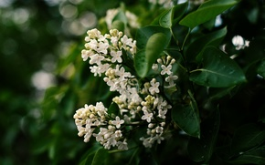 Picture leaves, flowers, white, flowering, lilac