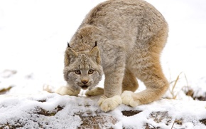Picture cats, lynx, wild cat