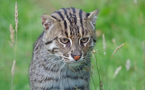 Picture predator, muzzle, wild cat, fishing cat, kot Rybolov