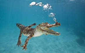 Picture bubbles, Australia, mouth, Crocodile, under water, floats
