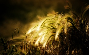 Picture wheat, the sun, background, widescreen, Wallpaper, plant, rye, spikelets, wallpaper, ears, different, widescreen, background, full …