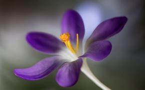 Picture flower, blur, Krokus