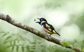 Picture leaves, food, branch, insect, birds, wildlife, broadbill