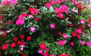 Picture leaves, rose, Bush, petals
