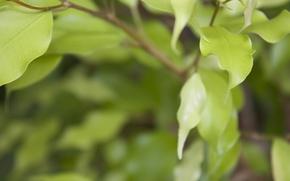 Picture leaves, focus, green, Bloor