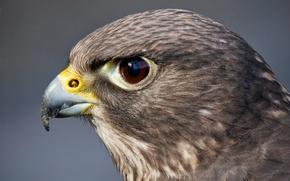 Picture look, eyes, bird, predator, head, Falcon