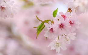 Picture pink, tenderness, spring, Sakura