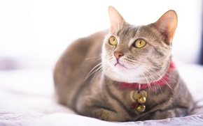 Picture cat, cat, collar, view