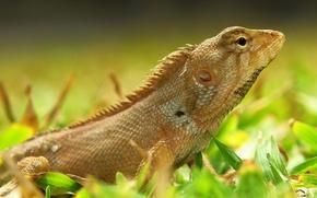 Picture grass, lizard, beautiful, eyed
