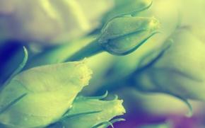 Picture macro, flowers, roses, full HD