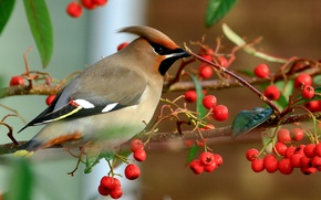 Picture autumn, birds, nature, berries, bird, branch