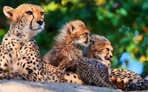 Picture family, kittens, Cheetah, mom, three, mother