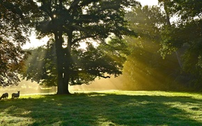 Picture animals, rays, trees, Park, tree, sheep, solar