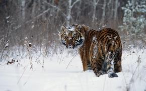 Wallpaper snow, Tiger, winter
