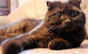 Wallpaper cat, cat, lies, looks