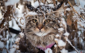 Picture winter, animals, red, British fold, DOMAINEERING, mainecoon