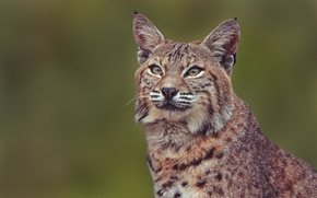Picture portrait, lynx, wild cat