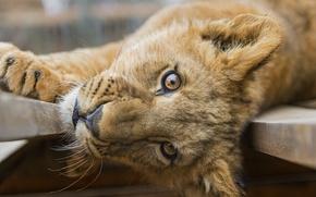 Picture cat, look, face, Leo, cub, lion, ©Tambako The Jaguar