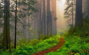 Picture summer, haze, USA, California, Sequoia, June, red forest, red wood