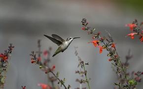 Picture flight, flowers, bird, Hummingbird, red
