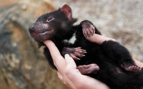 Picture marsupial traits, sarcophilus harrisii, Tasmanian devil