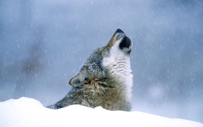 Picture winter, snow, Wolf, howling
