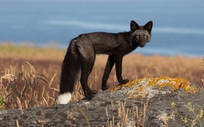 Picture white, Fox, tail, black, Fox, looks