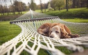 Picture summer, dog, hammock