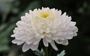 Picture flower, photo, chrysanthemum